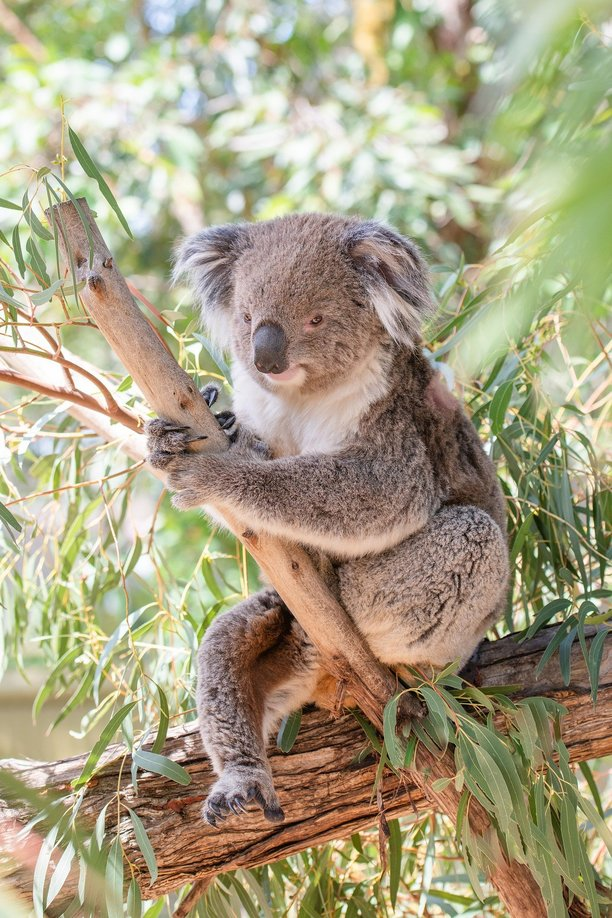 koala in eucalyptus tree- benefits of eucalyptus oil
